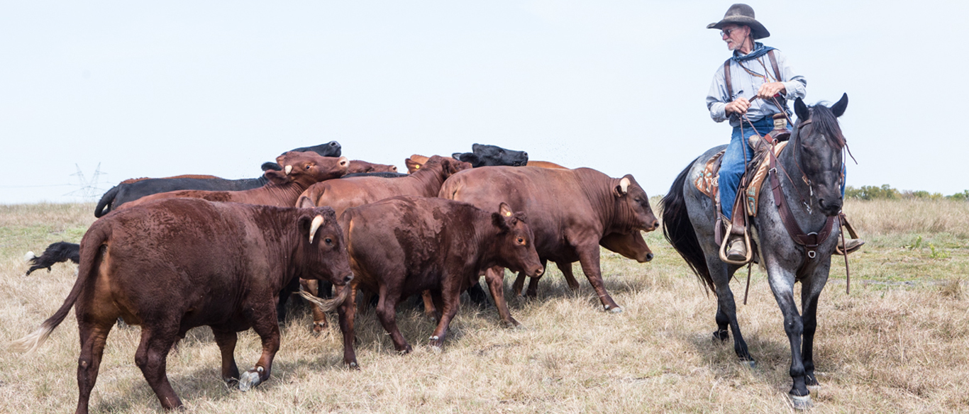 Bringing the cows to pasture on JuHa Ranch in Barry, Texas.